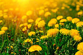 Field with yellow dandelions. Spring background. Soft focus