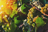 Close up vineyard and grapes at sunset in autumn harvest. Harvesting time or winemaking concept
