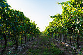 Vineyard at sunset in autumn harvest. Harvesting time or winemaking concept