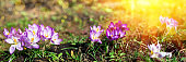 Banner 3:1. Panorama of blooming purple crocus flowers on meadow under sun beams in spring time. Beautiful spring background. Selective focus