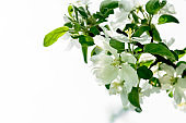 Isolated apple tree blossom branch. Spring background. Copy space . Soft focus