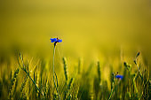 Bee sitting on lonely cornflower in wheat field on sunset. soft focus. Nature background