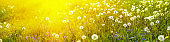 Banner 3:1. Panorama field with blowball dandelions against blue sky and sun beams. Spring background. Soft focus