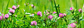 Banner 3:1. Purple clover (trifolium) flowers on meadow. Spring nature background. Soft focus