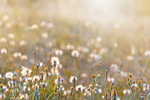 Background from defocused fluffy dandelions glow on meadow. Soft focus