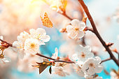 Blossoming cherry branches against blue sky, sun beams and flying butterflies. Spring background. Soft focus