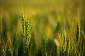 Wheat field. Close up ears of green wheat on sunset. soft focus. Harvest Concept.