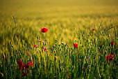 Poppy flowers in wheat field on sunset. soft focus. Harvest Concept.