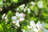 Close-up apple tree blossom. Spring background