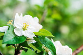 Close-up apple tree blossom branch. Spring background. Copy space
