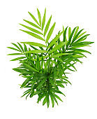 Green leaves of chameadorea palm