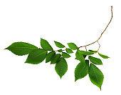 Twig of fresh green elm-tree leaves