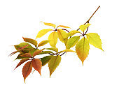Twig with colorful autumn leaves of wild grape isolated on white