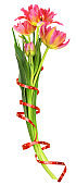 Coral and yellow tulip flowers with wrapping ribbon