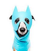 Lovely whippet dog wearing light blue super hero mask and costume in front of white background. Looking at camera, front view.