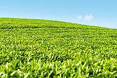 green tea plantation closeup