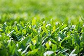 tea tree leaves closeup in sunshine