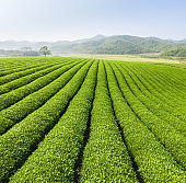 beautiful green tea plantation landscape
