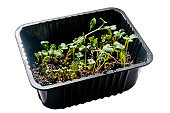 parsley seedlings in a plastic container