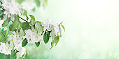 Horizontal banner with beautiful branches of apple tree with white flowers
