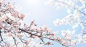 Horizontal spring banner with sakura flowers