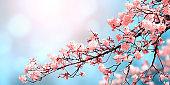 Beautiful nature spring background with sakura flowers