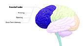 Central Organ of Human Nervous System Brain Lobes Frontal Lobe Anatomy