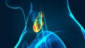 Human Glands Thyroid Gland Anatomy