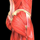 Muscles a Part of Human Muscular System Anatomy