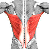 Human Muscular System Torso Muscles Latissimus Dorsi Muscle Anatomy