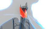 Human Body Glands Lobes of Thyroid Gland Anatomy
