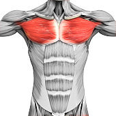 Human Muscular System Parts Pectoral Muscle Anatomy