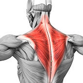 Human Muscular System Parts Trapezius Muscle Anatomy