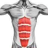 Human Muscular System Parts Rectus Abdominis Muscle Anatomy