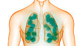 Human Respiratory System Lungs with Alveoli Anatomy