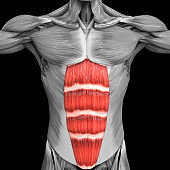 Human Muscular System Torso Muscles Rectus Abdominis Muscle Anatomy