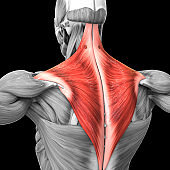 Human Muscular System Torso Muscles Trapezius Muscle Anatomy