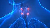 Human Glands Parathyroid Glands Anatomy