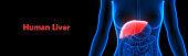 Human Digestive Internal Organ Liver Anatomy