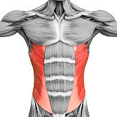Human Muscular System Torso Muscles Abdominal External Oblique Muscle Anatomy