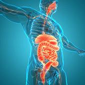 Human Digestive System Anatomy