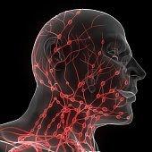 Human Internal system Lymph Nodes Anatomy