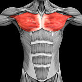 Human Muscular System Torso Muscles Pectoral Muscles Anatomy