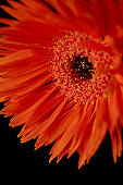 Close up view of gerbera with orange petals isolated on black