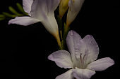 Close up view of freesia flower with water drop isolated on black