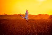 Heron flying under the sunset light. Silhouette scene. Pantanal, Brazil.