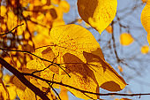 Autumn yellow leaves in sunlight large