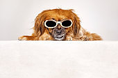 Small dog against white background with sunglasses