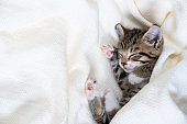 Small striped kitten sleeps covered with white light blanket. Concept of adorable pets. Copyspace