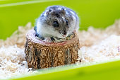 Djungarian hamster in sawdust in green cage. Domestic pets and rodents